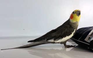 Разговор попугаев корелла
