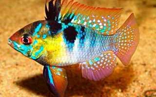 Рыба из семейства цихлид