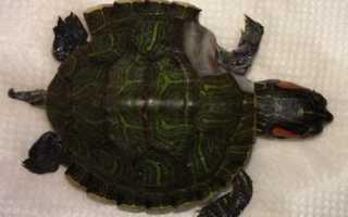 Красноухая черепаха ест улиток