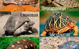 Что едят черепахи сухопутные