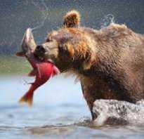Медведи едят рыбу
