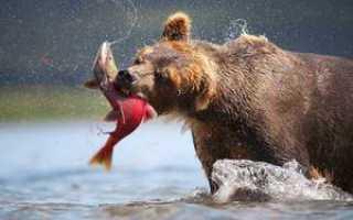 Рыба которую ест медведь