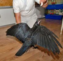 Что любит ворона