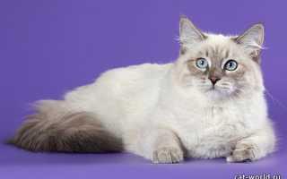 Сибирская кошка колор пойнт