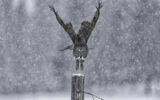 Спят ли совы зимой