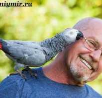 Попугай с красным хвостом
