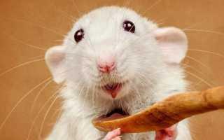 Как узнать возраст крысы