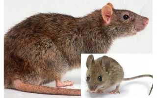 Мышь и крысеныш