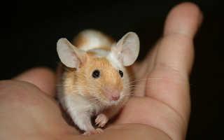Сколько живут декоративные мыши