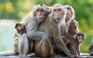 Рыжие обезьяны название