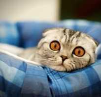 Чем кормить вислоухих котов