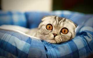 Чем кормить котенка шотландского вислоухого