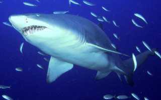 Длина тела акулы
