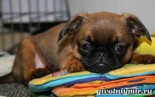 Порода собак брабансон