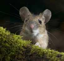 Чем питаются мыши в домашних условиях