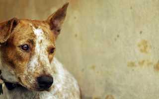Признаки заболевания чумкой у собак