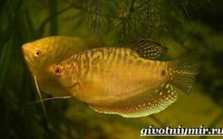 Аквариумная рыбка гурами содержание