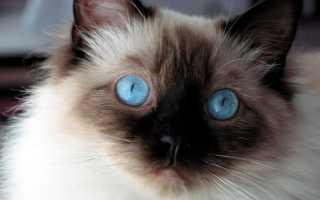 У каких пород кошек голубые глаза