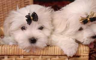 Порода собак похожая на болонку