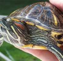 Водная черепаха спячка