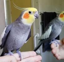 Попугай корелла характер