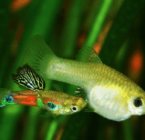 Гуппи рыбки девочки
