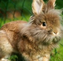 Кролик порода лев