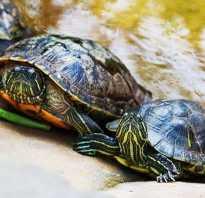 Половые органы черепахи