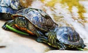 Половой орган самца черепахи