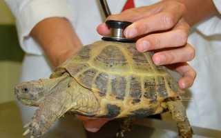 Если у черепахи мягкий панцирь
