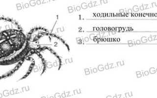 Внутреннее строение паука крестовика рисунок