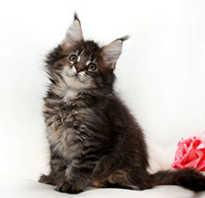 Чем кормить котов мейн кунов