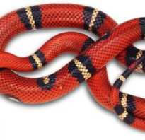 Змея семейства аспидов