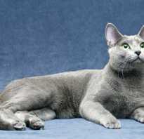 Сибирская голубая кошка описание