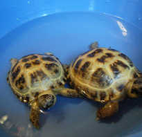 Как мыть сухопутную черепаху