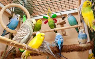 Комфортная температура для волнистых попугаев