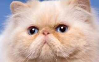Персидский кот описание породы