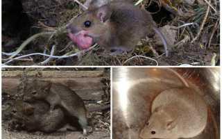 Как рождаются мыши видео