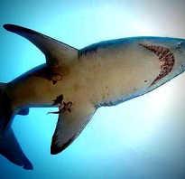 Голубая акула какое сердце