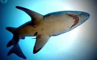 Сердце акулы сколько камер
