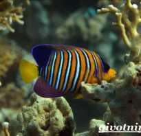 Рыба ангел в аквариуме