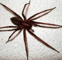 Домовой паук сколько живет