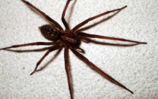 Домашние пауки кусаются или нет
