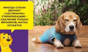 В каком возрасте можно стерилизовать собаку