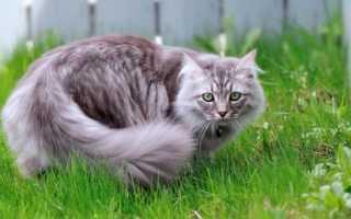 Сибирская длинношерстная кошка фото