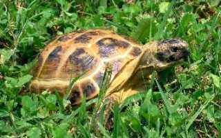 Сухопутная черепаха красная книга