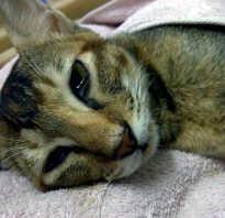 Чумка у кота лечение