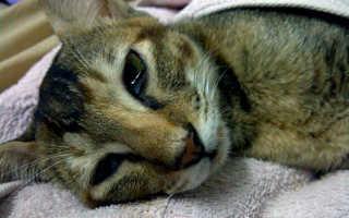 Чума кошек лечение