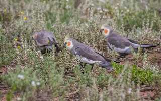Корм для карелов попугаев