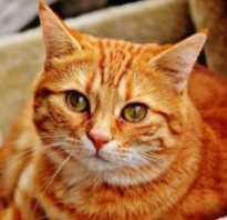 Кошки бело рыжие фото